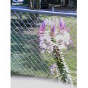 Cleome Picture
