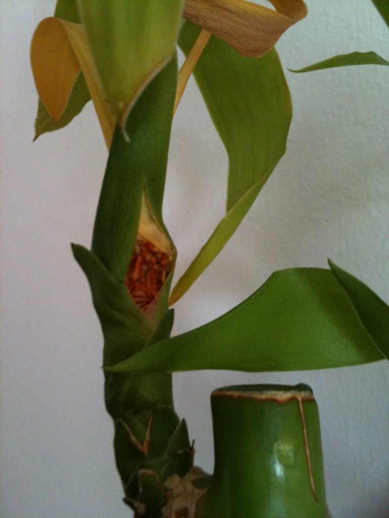 Lucky Bamboo Developing Side Roots