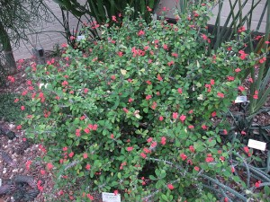 Crown of Thorns (Euphorbia milii var Splendens)