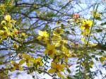 Jerusalem Thorn Tree (Parkinsonia aculeata)