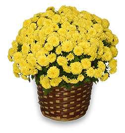Yellow Potted Mum - Just in Time For Fall!