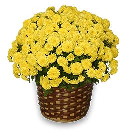Yellow Potted Mum