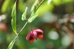 Seed Pod of Strawberry Bush including Leaves