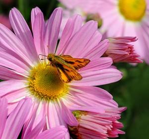 'Country Girl' Chrysanthemum