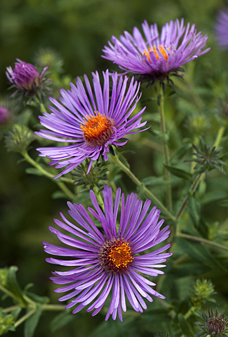 september flower spotlight aster, Beautiful flower