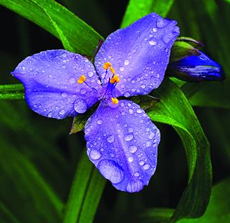 Tradescantia x andersoniana (Spiderwort)