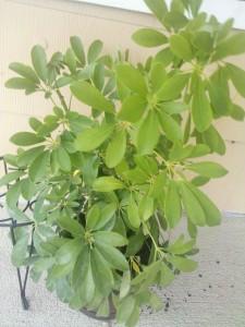 Schefflera Houseplant
