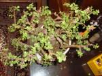 Bonsai Jade Plant Problems