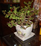 Bonsai Jade Plant