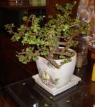 Bonsai Jade Plant