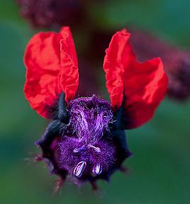 Bat Face Cuphea (Cuphea llavea)