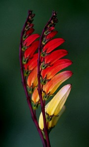 Firecracker Vine or Spanish Flag (Mina lobata)