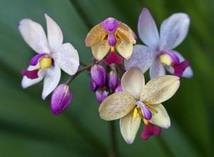 Orchids (Orchidaceae)