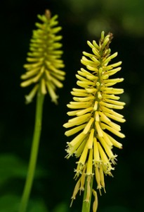 Red or Yellow Hot Poker (Kniphofia)