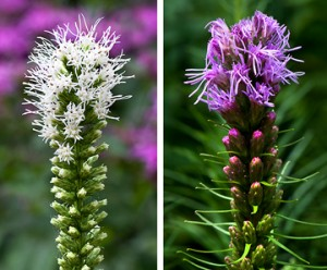 Liatris or Blazing Star (Liatris)