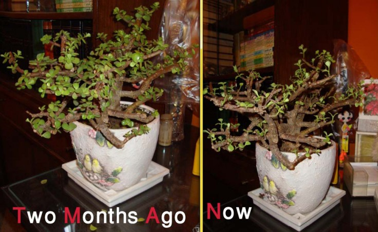 Weak Jade Plant - before & after