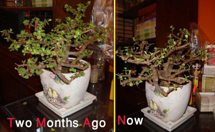 Weak Jade Plant - before & after