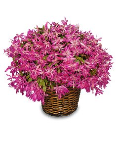 Christmas Cactus - Safe for pets and children.
