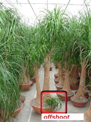 Elephant Foot Plant
