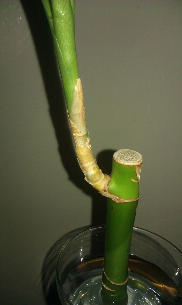 Yellowing Lucky Bamboo