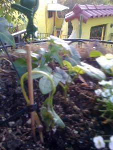 Moonflower Seedling