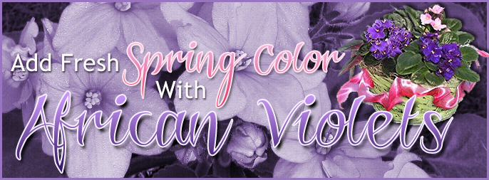 Send Spring Color With African Violets