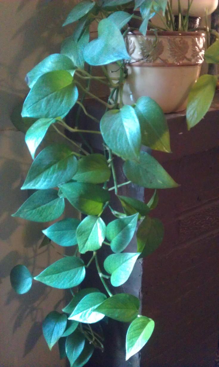 Pothos House Plant