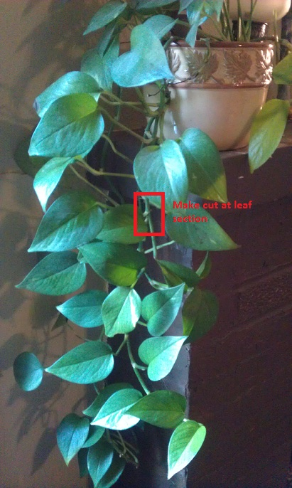 Where to cut Pothos