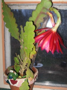 Red Orchid Cactus