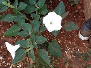 Datura blooming