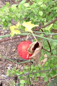 Lindheimer's globeberry, Balsam gourd, Globe berry, Snake apple