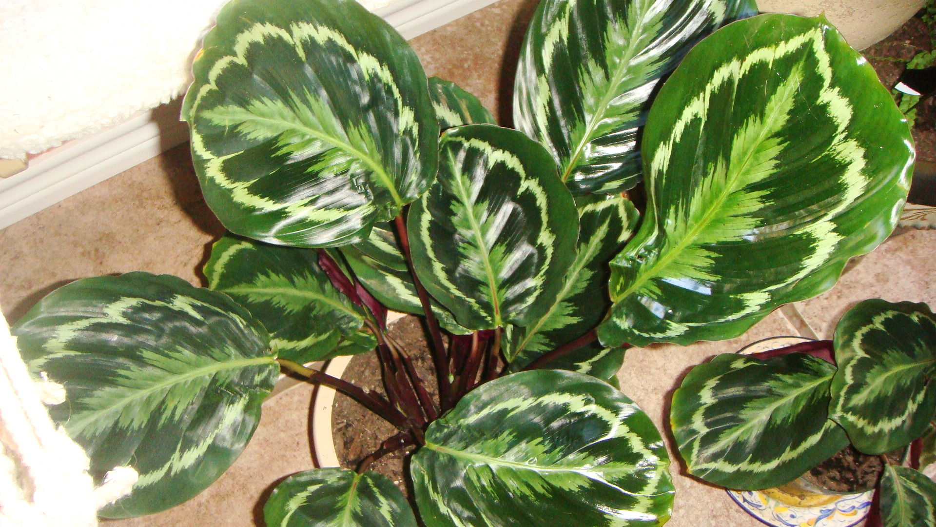 calathea roseopicta prayer plant