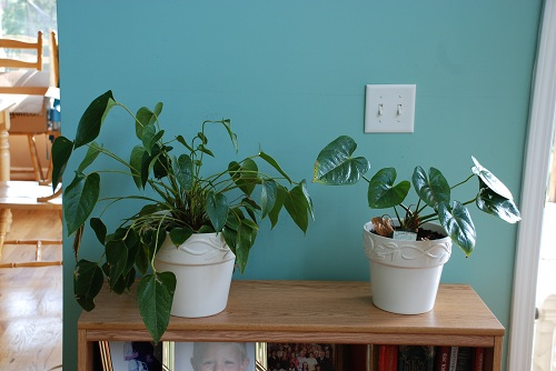 Anthurium Houseplants