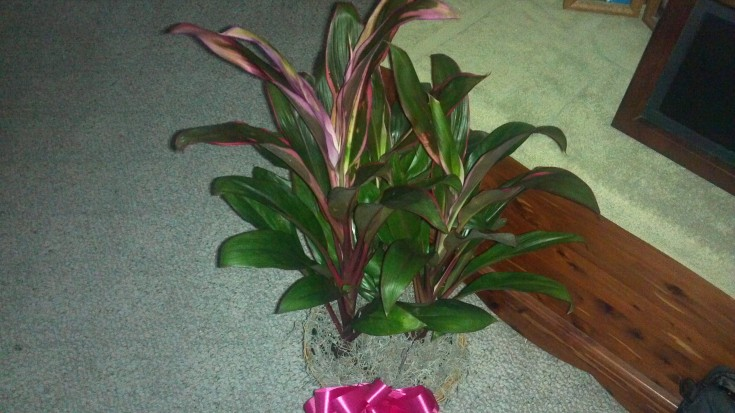 Cordyline House Plant