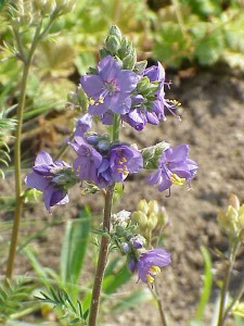 Jacobs Ladder Polemonium
