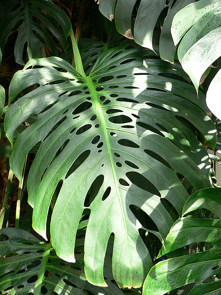 what s wrong with my split leaf philodendron. Black Bedroom Furniture Sets. Home Design Ideas