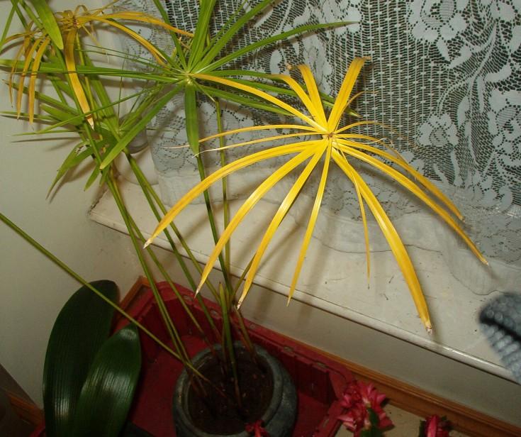 Cyperus alternifolius - Umbrella Plant