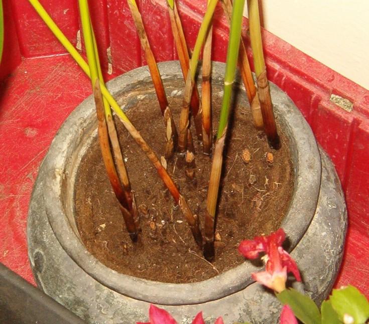 Cyperus alternifolius - Umbrella Plant stems