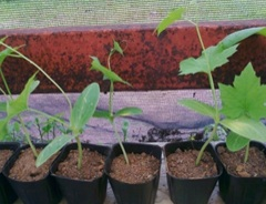 Luffa Seedlings