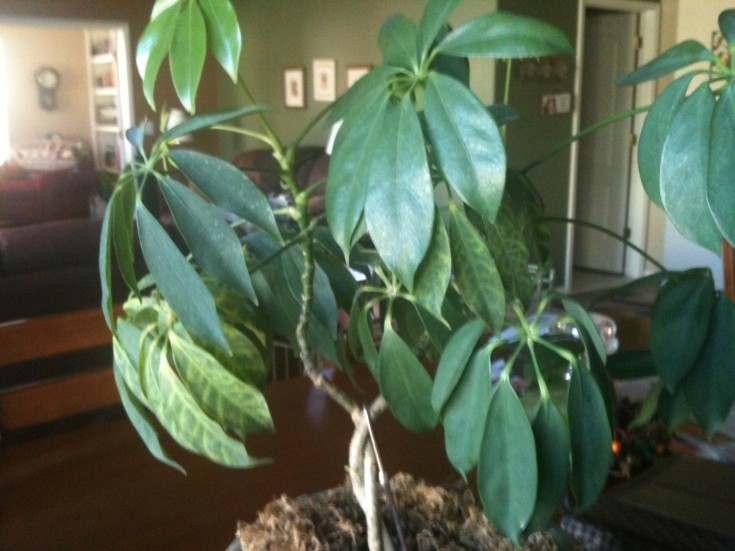 Schefflera With Distorted Leaves