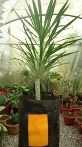 Plant #97 - Dracaena