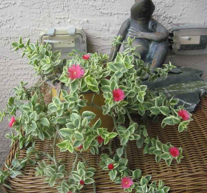 Pink Flowering Plant - Aptenia cordifolia variegata