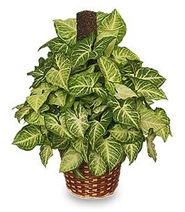 Green Nephthytis Houseplant