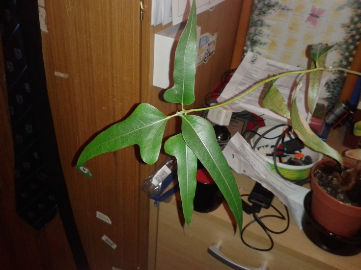 Type of Philodendron