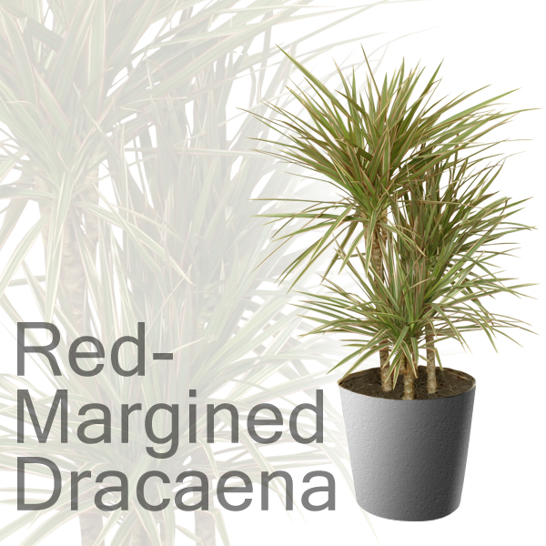 Red-Margined Dracaena - Modern Houseplant