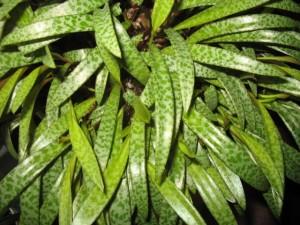 Scilla Drimiopsis Maculata