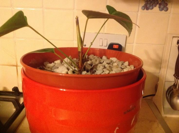 Small Anthurium Wont Bloom