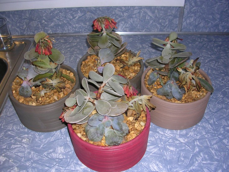 Over-watered Kalanchoe Photo