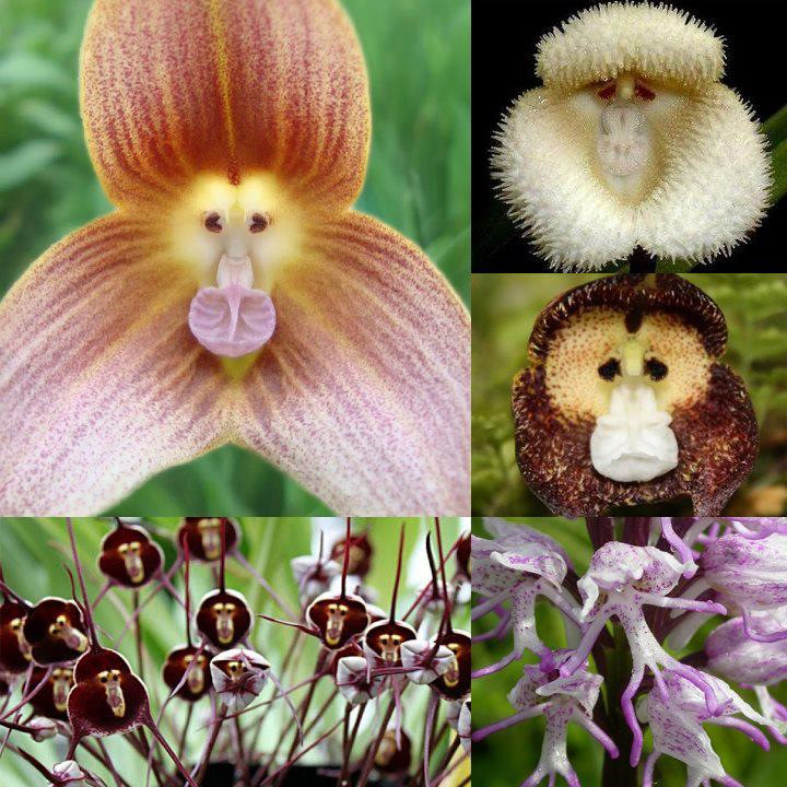 Flowers Imitating Monkeys