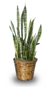 Sansevieria Houseplant